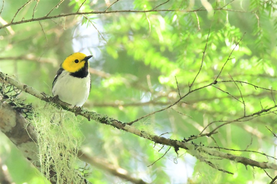 The hermit warbler winters in Mexico and migrates to the West Coast.