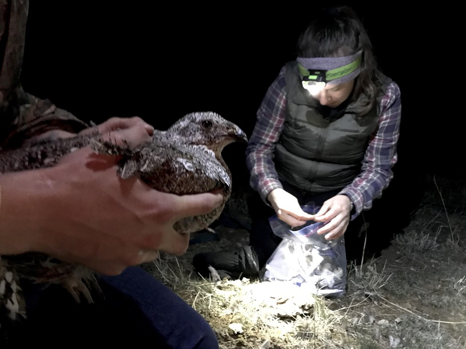 Lindsey Perry prepares a tag for a female sage grouse.