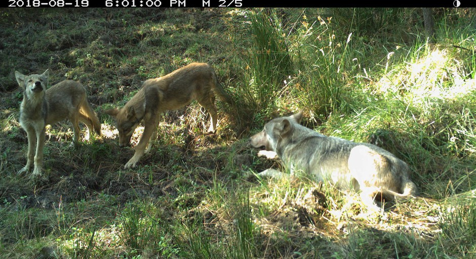 Photo shows the breeding male of White River wolves with two pups, taken Aug. 19 by remote camera on the Warm Springs Indian Reservation. Photo courtesy of Wildlife Department BNR-Confederated Tribes of Warm Springs.