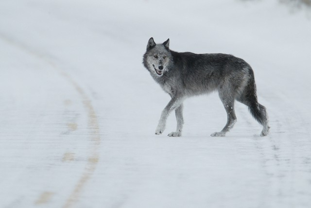 A gray wolf in Yellowstone National Park. A news report suggests the federal government is preparing to remove legal protection under the Endangered Species Act for gray wolves in most of the lower 48 states.